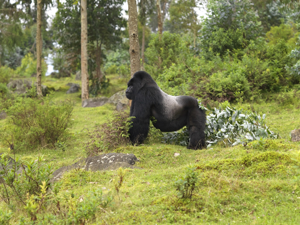 Make your African vacation dreams, the reality! Rwanda is known as a country of thousand hills Volcanoes Mountain Gorillas Green Country.  A very unique experience to track mountain Gorillas in Rwanda @ https://t.co/SrlBi2qHZV  #RwandaSafaris  #wildlife #explore https://t.co/zT0fVhPkzT