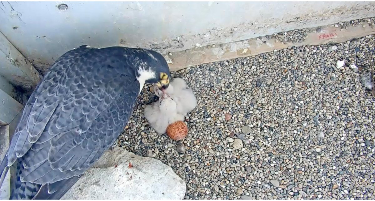 Those baby falcons are feeding now! Thank you @we_energies! Needed that. youtube.com/watch?v=mfA673…