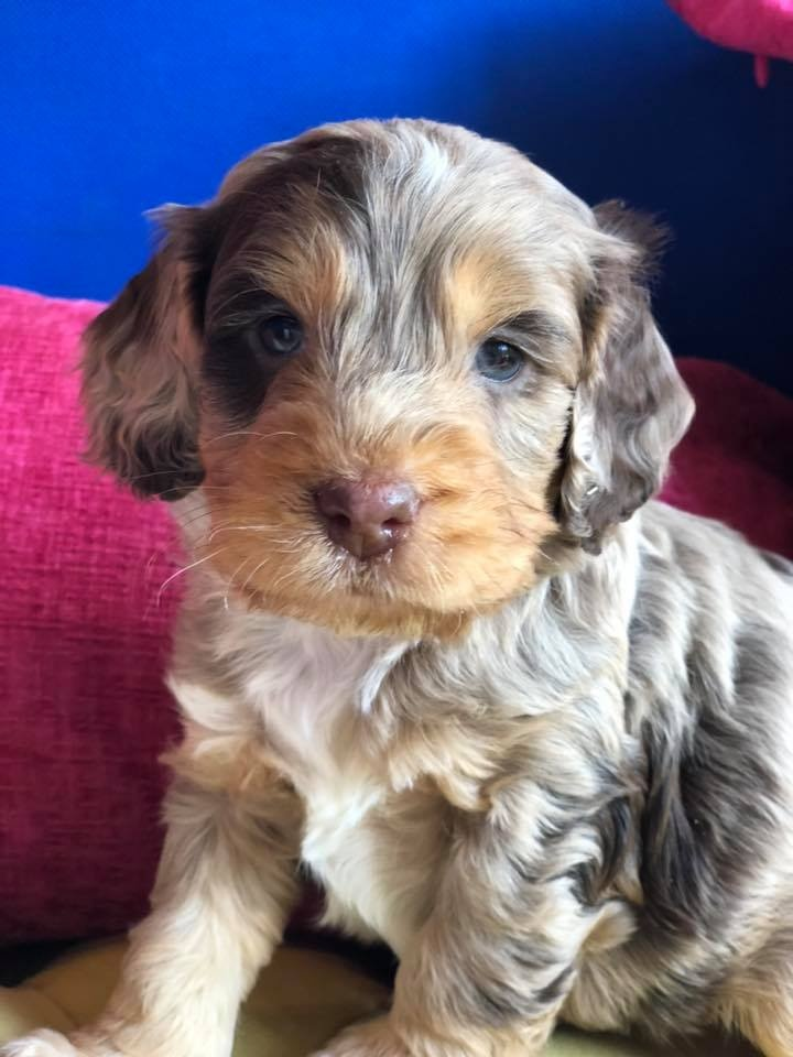 We're appealing for information after a number of puppies were stolen in a disgraceful and appalling act of thievery. Sadly a Cockapoo puppy, believed to have been run over by the getaway vehicle, was also found dead on the grounds of the farm. Read more: https://t.co/hnO2Ph1dgn https://t.co/FKClcDc7ci