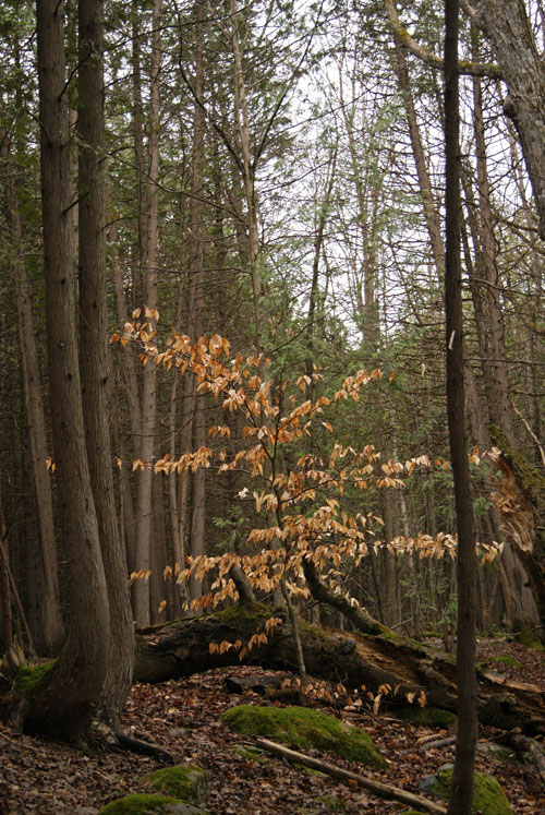 #NaturalPhenomenon: A beech tree fell in the forest, but it did not die. #regeneration #beech #treepic.twitter.com/HkdpHc8TZz  by Merridy Cox Bradley