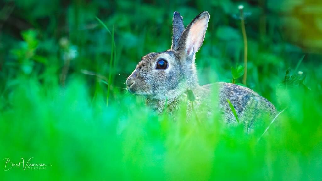 Konijntje in het gras. . . . . . #nuts_about_wildlife #animalelite #splendid_animals #shots_of_animals #animals_captures #all_animals_addiction #marvelouz_animals #exklusive_animals #nature #exclusive_wildlife #naturelovers #bns_nature #wildlife_perfecti… https://instagr.am/p/CALRxpQAq_R/pic.twitter.com/MRCCcckKnf