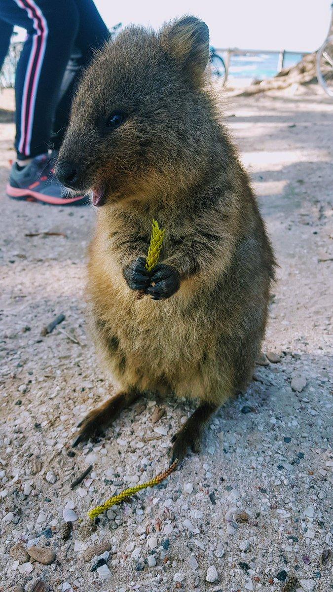 Rottnest Island, paradis des quokkas, à 30 min de Perth, Australie  https://t.co/5BT2FkX7vo  #rotto #rottnestisland #quokka #quokkas #animauxdroles #animauxrigolos #animauxmignons #animauxsauvages #routard #blogdevoyage #blogueurvoyage #photoanimaux #leroutard #carnetderoute #roo https://t.co/tq7yuEZ1Zi