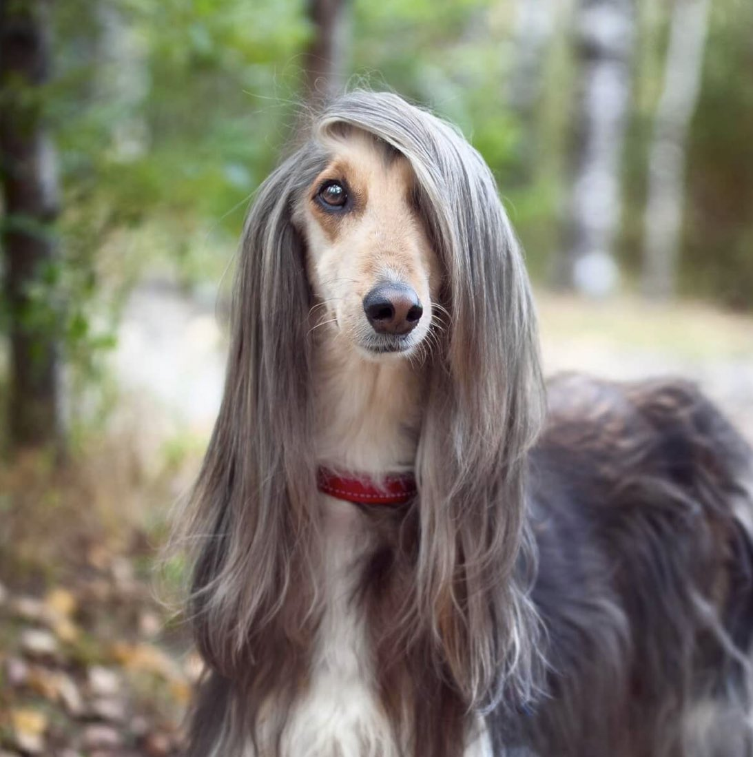 Afghan hounds only come in 2 varieties: starlet with a terrible secret or Bay Area therapist