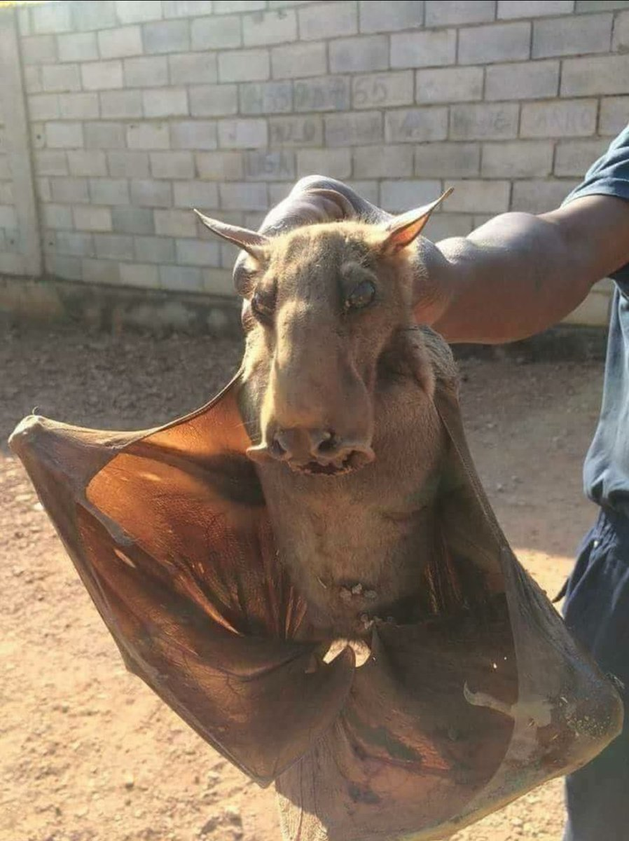 I was today years old when I heard about the Hammerhead Bat.😱😱 https://t.co/8YtVKmXP6C