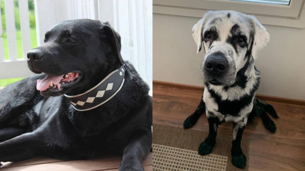 Kỳ lạ chú chó thay đổi màu sắc từ đen sang trắng chỉ sau 1 đêm