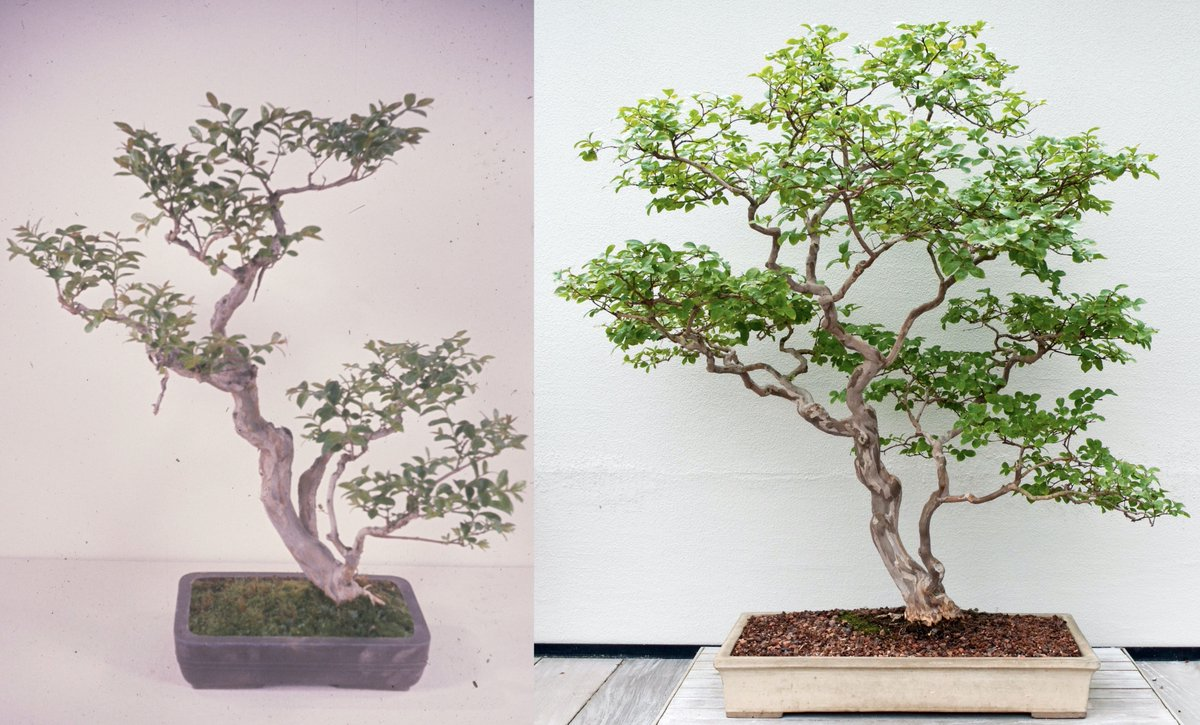 Longwoodgardens On Twitter This Crepe Myrtle Lagerstroemia Indica Bonsai Was Small In 1961 Left And It Is Still Diminutive In Form In 2010 Right But Much More Compact Note How The Branches Have
