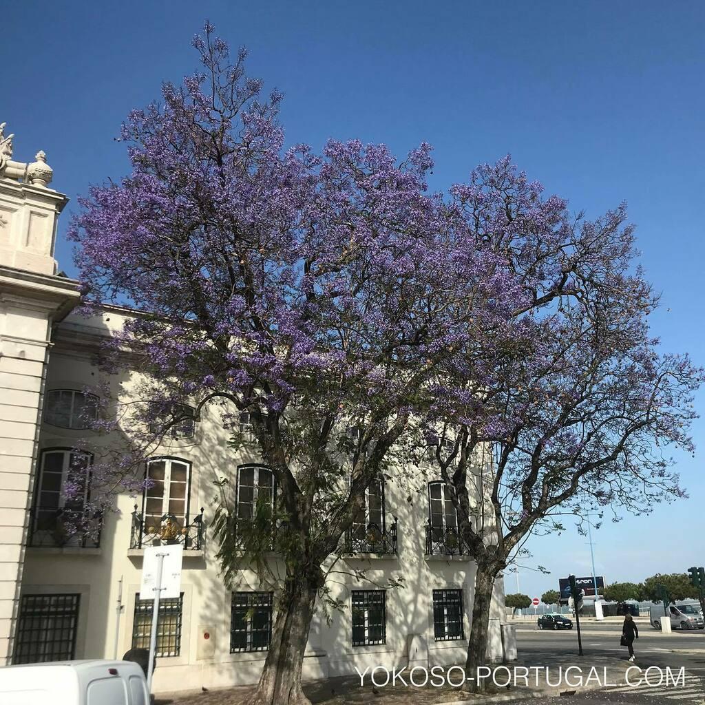 test ツイッターメディア - 初夏の訪れを告げるジャカランダが、いつの間にかひっそりとリスボンを紫色に染め始めました。 #ポルトガル #リスボン #ジャカランダ https://t.co/o0tTC9yRJX