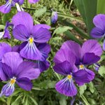Image for the Tweet beginning: Viola corsica grown from seed