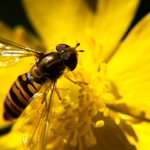 Image for the Tweet beginning: Protecting pollinators is one of