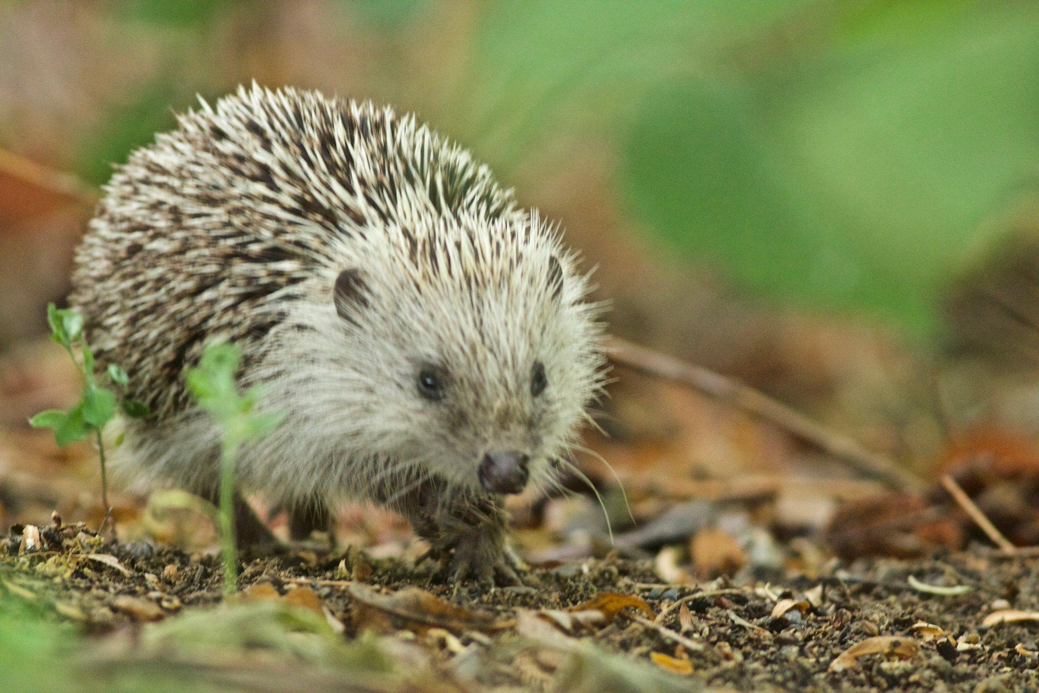 Amur Hedgehog
