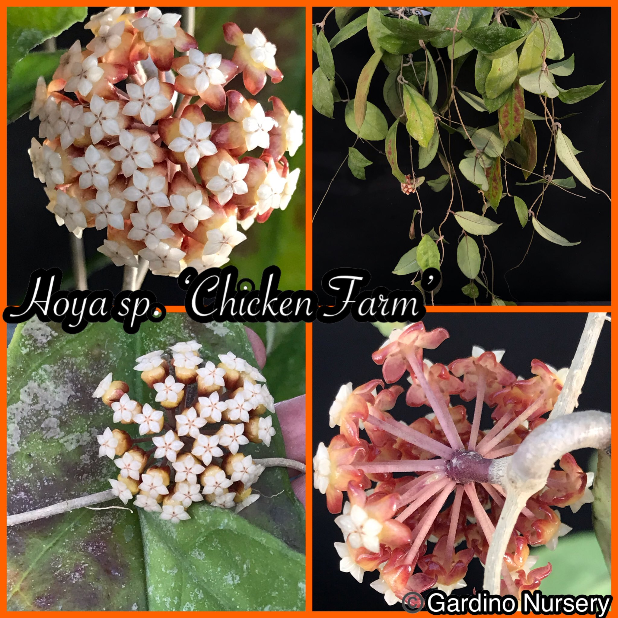 Hoya Plants On Twitter Hoya Sp Chicken Farm Beautiful Silver Splashed Leaves In The Winter The Leaves Blush Red The Flowers Are Cute And Small With Weak Scent Beautiful Https T Co Urhpsr9vco