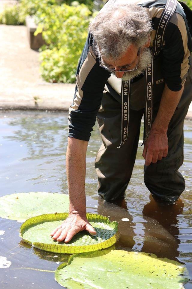 De Victoria waterlelie is weer geplant in de Hortus! De beroemde waterplant kan bladeren krijgen van wel 1,5 m doorsnee en de witte bloemen bloeien alleen s nachts. @AT5 @parool @RTVNH_ADam https://t.co/BxBLTAjkwM