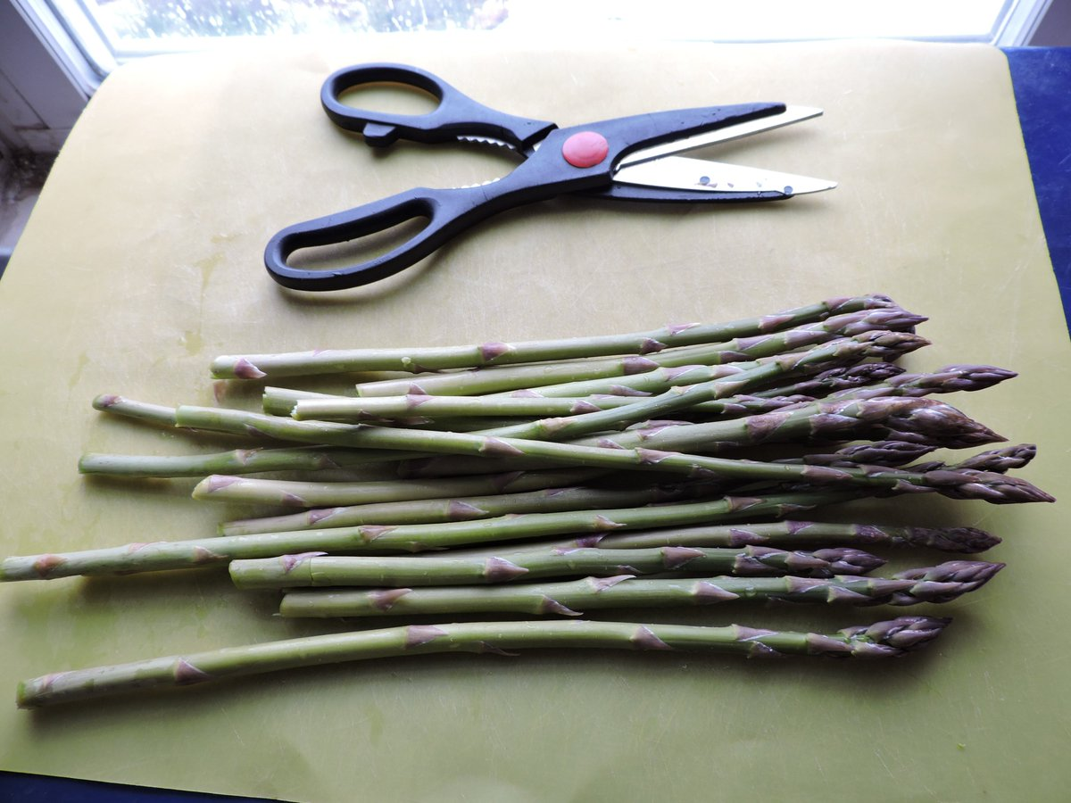 My first asparagus harvest since planting seeds three years ago. Sweet! #homesteading #homegardening #asparagus