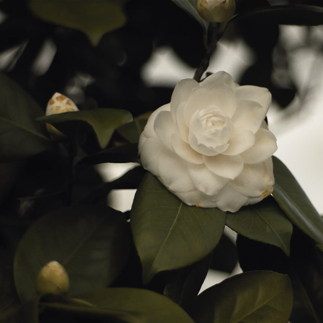 BEYOND THE JAR. Episode 2. Camellia Alba Plena, the emblematic flower of CHANEL at the heart of the HYDRA BEAUTY line.  Disover more on https://t.co/3ax1NxE1gB #CHANELSKINCARE #BEYONDTHEJAR https://t.co/26JEK2z7te