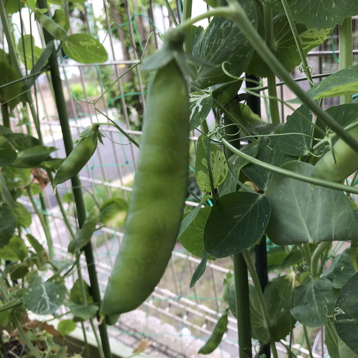 栽培 エンドウ 豆
