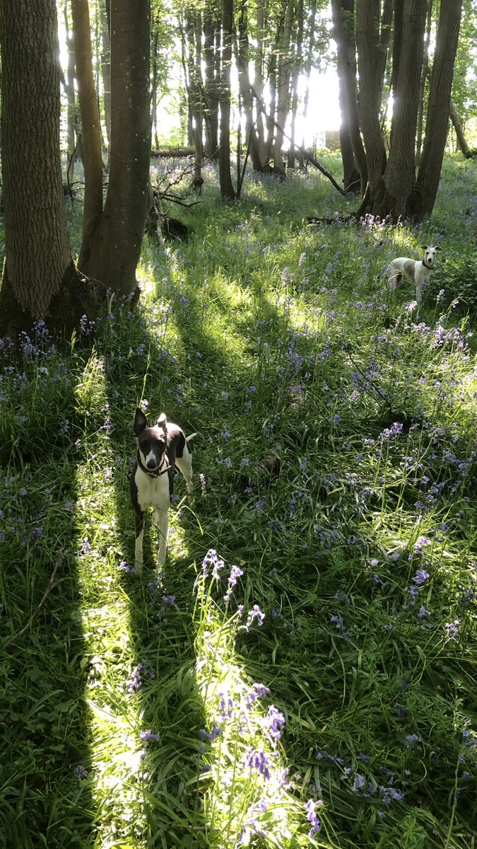 Our wood #BotanyBay#whippet#lockdown