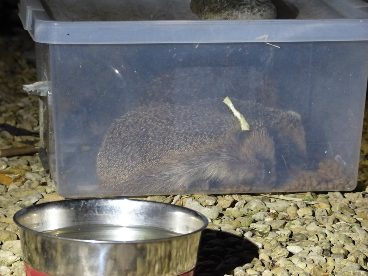 Spotted 3 #hedgehogs feeding side by side in the feeder last night. All munching happily, no argy bargy, no huffing. Not a mother with #hoglets as they were all big. #HedgehogAwarenessWeek #hedgehog #wildlife