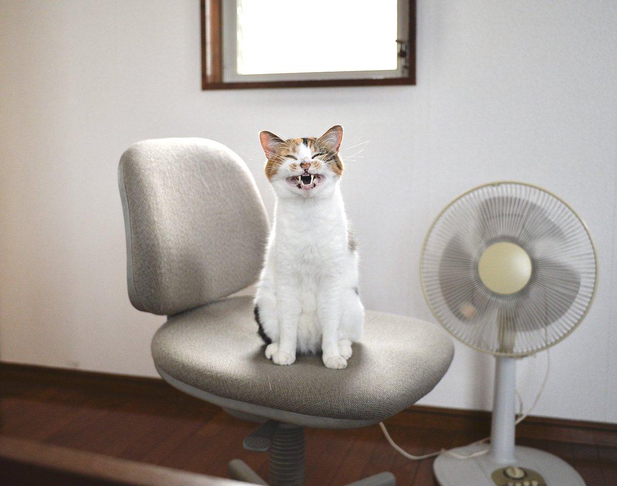 猫飼いあるある!?先に椅子取られがちいい顔してます