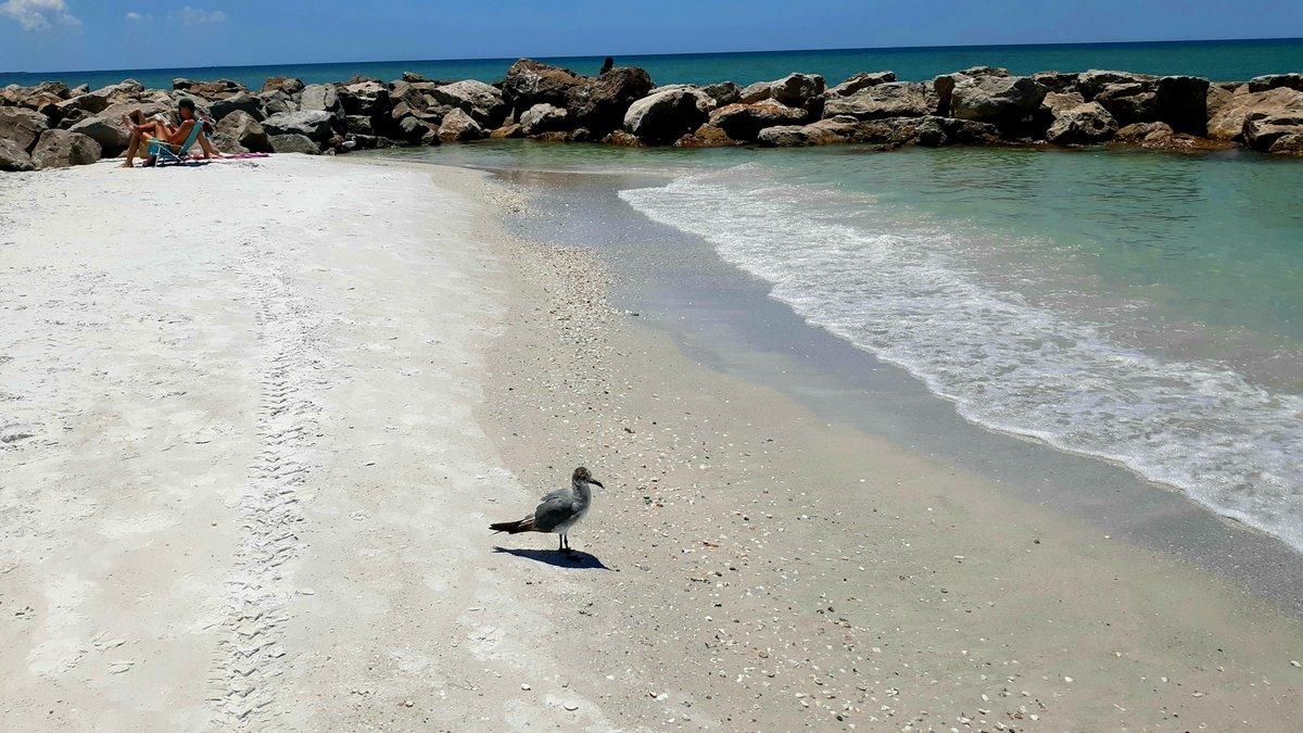 Beaches are open!  ☀️☀️☀️☀️☀️☀️☀️☀️☀️☀️☀️☀️  ☀️ #Florida #FloridaLife #FloridaGolf #photograph #photo #May2020 #beach #beachlife #bar #dive #Redington #StPeteBeach #PassAGrille #bird #birds  #birdwatching #Audubon #gull #coronavirus #CoronaVirusUpdate #CoronavirusPandemic https://t.co/JHcPg8tNxS