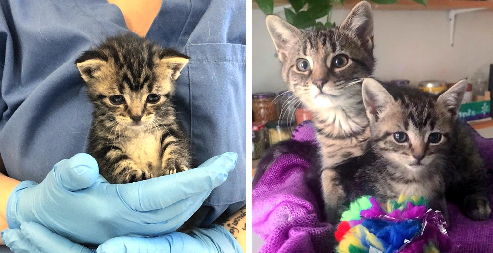 Kitten befriended her little lookalike and decided to adopt her. See full story and updates: lovemeow.com/kitten-rescued…