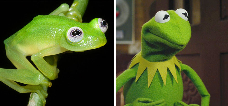 And in good news that makes up for everything, in Costa Rica they've discovered a frog that looks more like Kermit than any other frog.