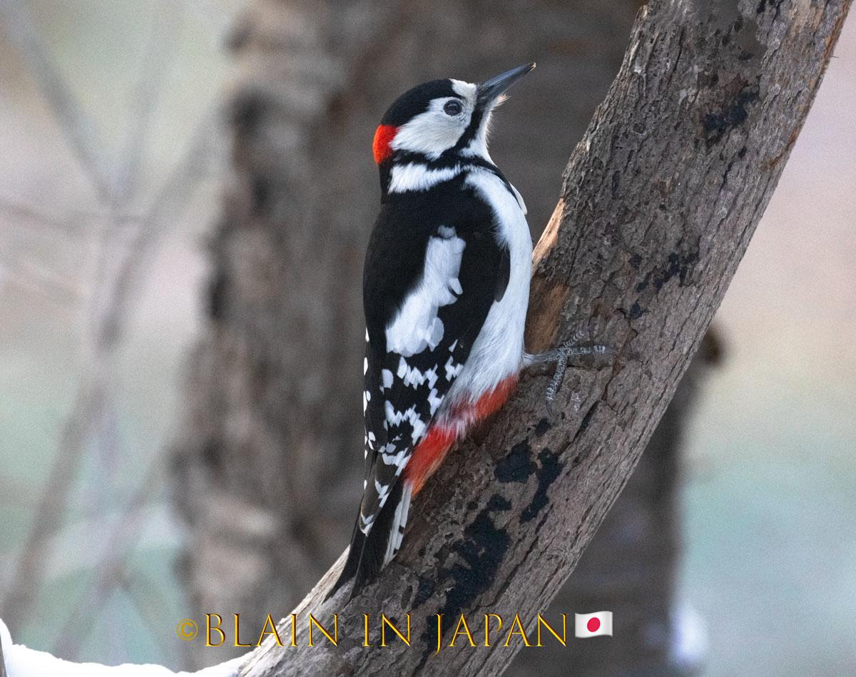 Great spotted woodpecker taken by @blainharasymiw while in Hokkaido #Japan #photography #birding #birdingphotography #travel #woodpecker #japandreamscapes #hokkaido #日本 #バードウォッチング #キツツキ #旅 #旅行 #ファインダー越しの私の世界 #北海道 #写真 #写真好きな人と繋がりたいpic.twitter.com/9Ye72kmNjr