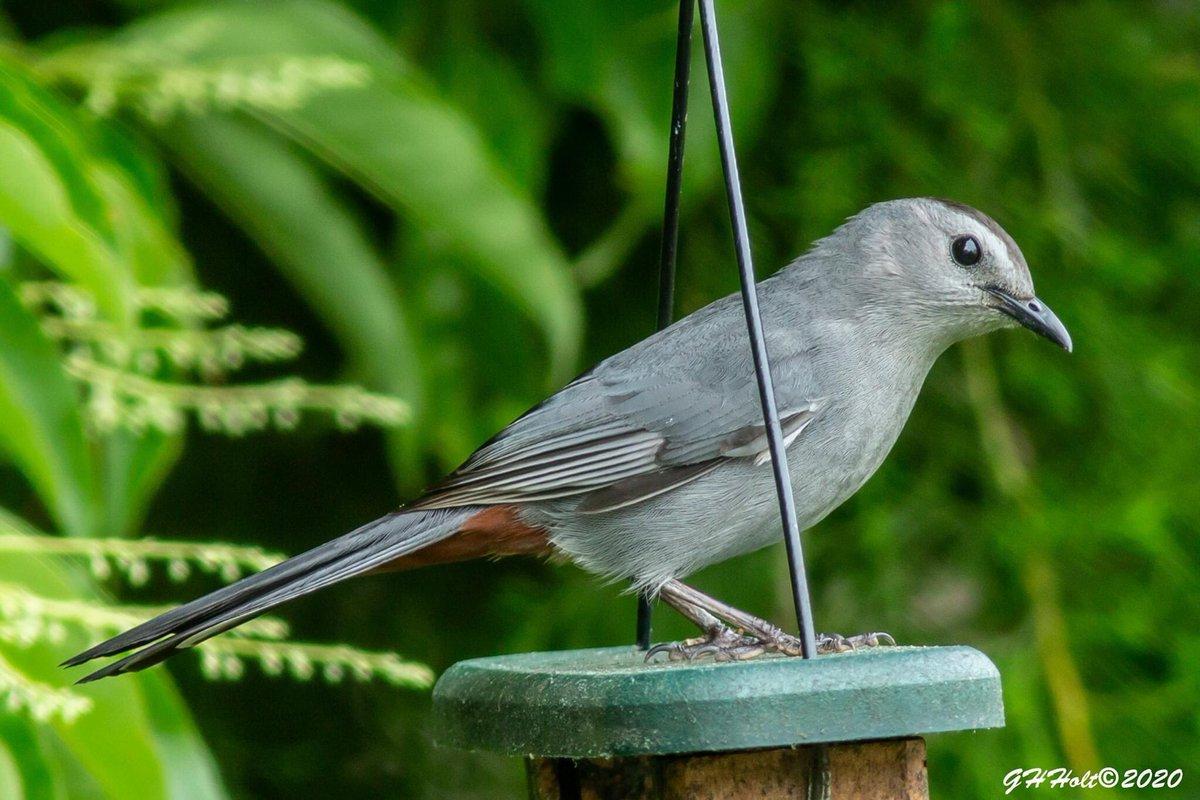 Rainy afternoon Gray Catbird #graycatbird #bird #birdwatching #birdwatchingphotography #birding #NaturePhotography #naturelovers pic.twitter.com/xMnTVmqe1W