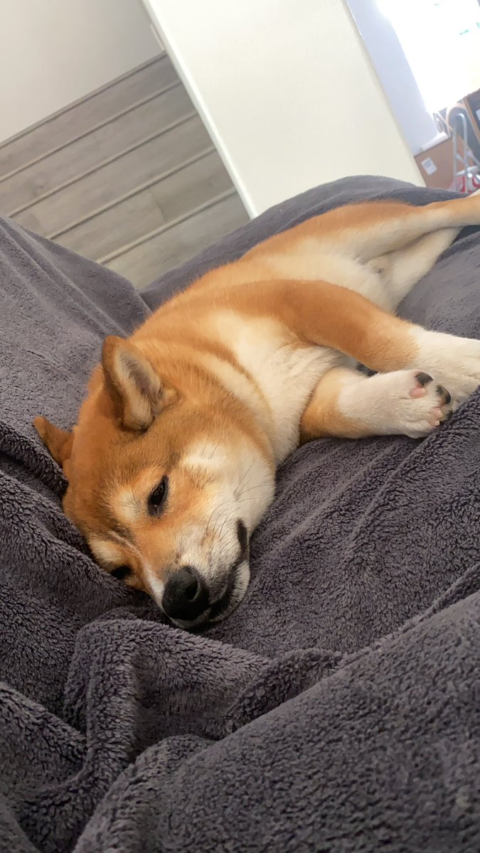 Daily doggo: sleepy boi #shiba pic.twitter.com/DKWYQjVlxQ