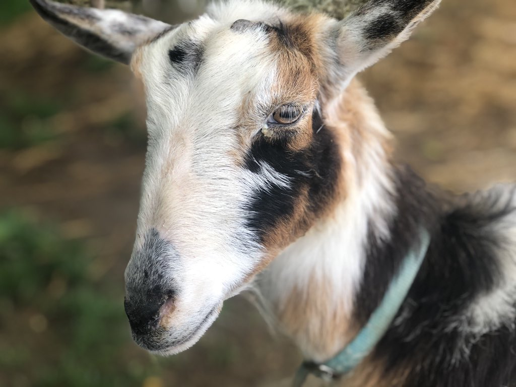 Chloe wants to wish everyone a happy Tuesday! #cuteanimals #babyanimals #farmer #homestead #goats #cute #animals #animalsathome #CutenessOverload #babygoatspic.twitter.com/7gBO2cC5jf