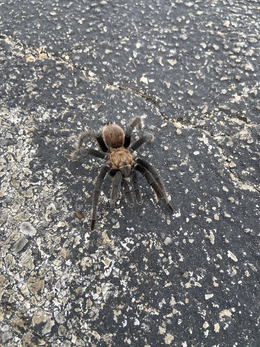 Saw this 3 days ago in Austin! It is a Texas Brown Tarantula. Download the iNaturalist app @inaturalist it's so goodpic.twitter.com/xOsfMGFRpH