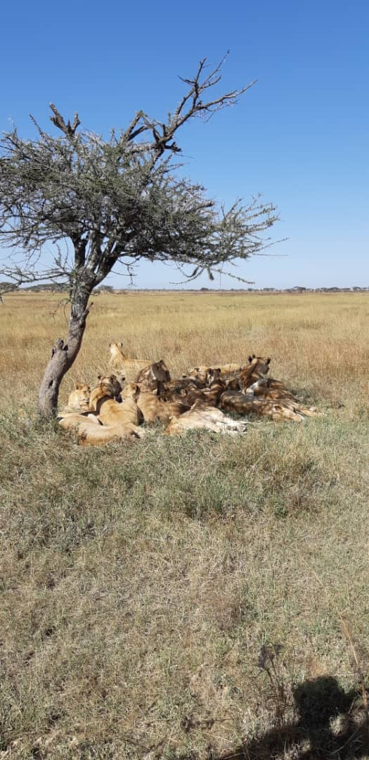 The vast Serengeti plains with very few trees. Lion during siesta time squeezing to get some little shade- https://bit.ly/2TFwlik  #holidays #travel #nature #naturelovers #africa #naturelovers #wilderness #wildlife #wild #art #beautiful #magic #adventure #journey #seetheworldpic.twitter.com/2tbhkxGYgP
