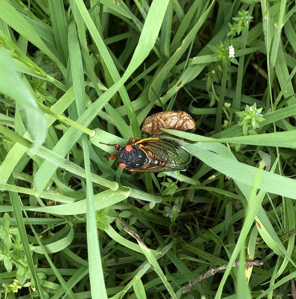 @PetrichorFarms We are having a major 17-year cyclical cicada hatch here.