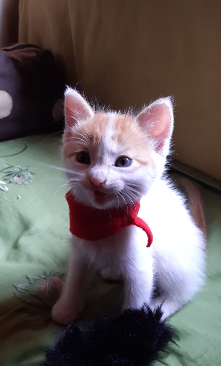 Pāru baby (she was 2 months in these photos) she is currently 6 months old #猫 #cat #kittenpic.twitter.com/2mMkhjPNN7