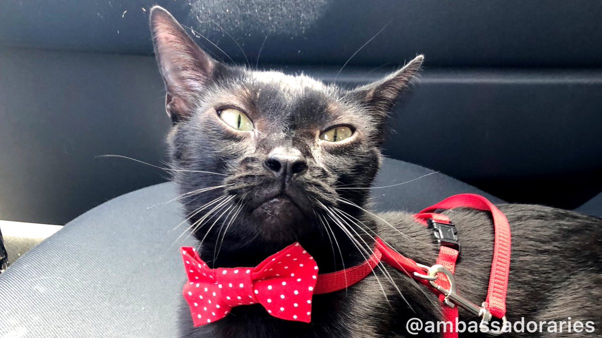 Mom told me that I could sit in the front seat for a moment while she made a phone call about our next destination. Where else should I be? Isn't this where the copilot sits?  #CatsOfTwitter #cat #cats #AdoptDontShop #kitty #bowtie #blackcat pic.twitter.com/qVlasYORR3