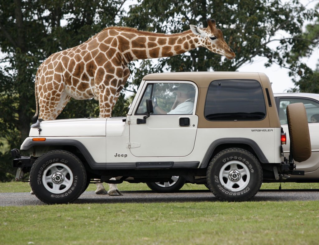 Tickets are on sale now for Wild Safari Drive-Thru Adventure!  Reservations open tomorrow at 10 am  Safari opens daily on Saturday! Reservations required - visit  http://www. sixflags.com/safari     for details!<br>http://pic.twitter.com/cO3gtpIohM