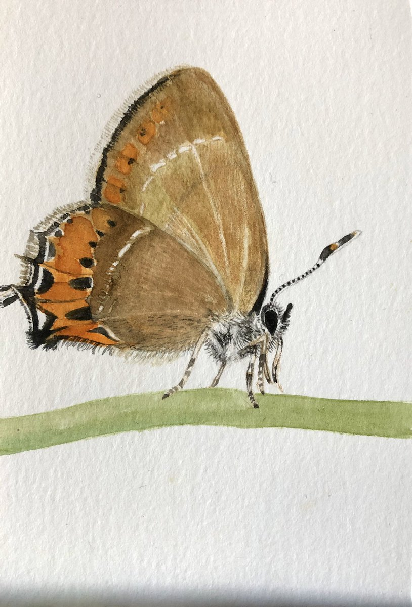 Today's postcard is a rare #BrownHairstreak #butterfly a complex little creature who only lays it's eggs on the new suckers of blackthorn preferring south facing hedges in sheltered locations. A butterfly in some danger due to modern farmings hedgerow management #1000Postcards pic.twitter.com/b4T3mu0wMZ