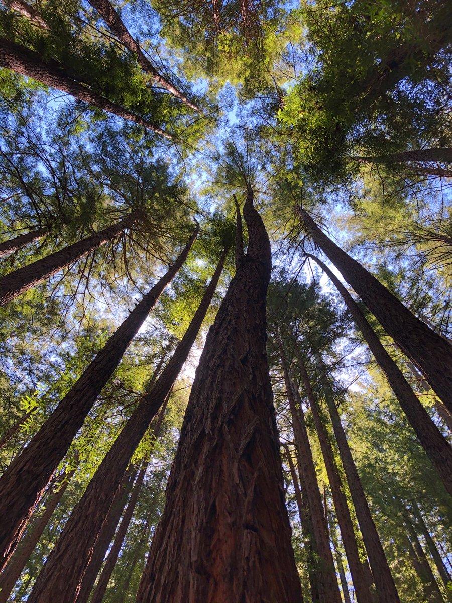 Majestic redwoods. #hiking pic.twitter.com/42kSwgq98d