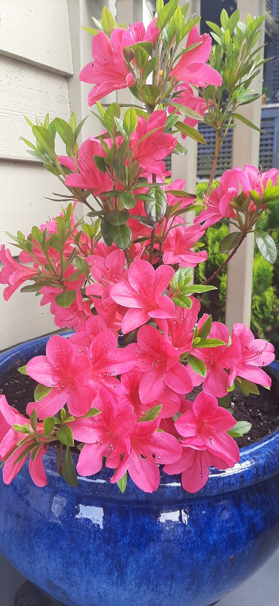New addition Stunning hot pink Azalea   #nature #vancouver pic.twitter.com/21lDS7W7vl