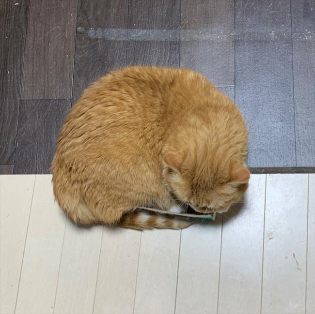 狭すぎる箱に入りたいモフモフの猫🐱必死にもがいて入ろうとする姿が笑ってしまうほどいとおしい😂 @itm_nlabzoo