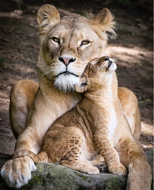 African male lions generally play no paternal role when it comes to the provisioning of food to the cubs.   #lionesslovers #lioncubs #lionesscub #bigcats #bigcatslovers  #felinelovers #lions #lionslovers #animals #animalslovers #africananimals #africa #africalovers #naturepic.twitter.com/SjbhiGzRBl