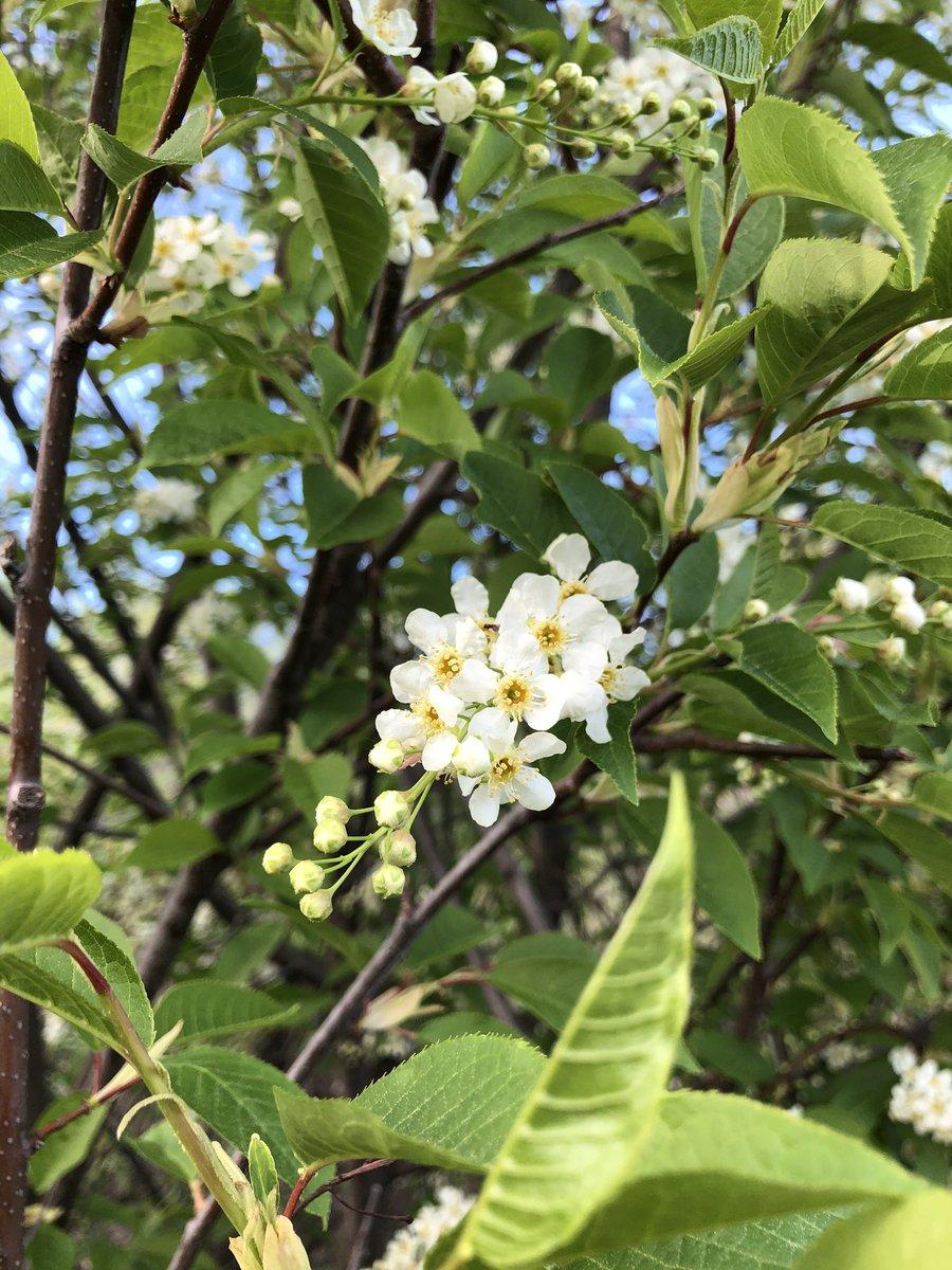 5/25(月)は、メモリアルウィークエンド。こちらでは、夏が本格的に始まる3連休です。フェアバンクスはチョークチェリーも満開で新緑が綺麗です!#アラスカ #初夏 #新緑 #フェアバンクス #チョークチェリー #alaska #summer #memorialweekend #chokecherry https://t.co/l0S9HHXJ2I