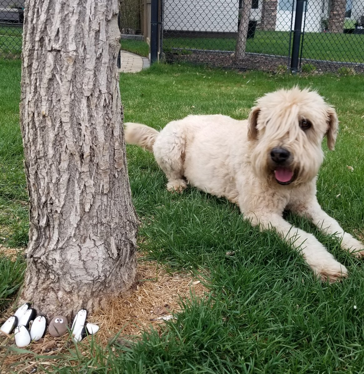 Someone left some painted rocks by the tree outside me garden! How nice! #painting #rocks #StayHome #dogsoftwitter #dogs #wheatenterrier #scwtpic.twitter.com/l9eLQLwJ3l