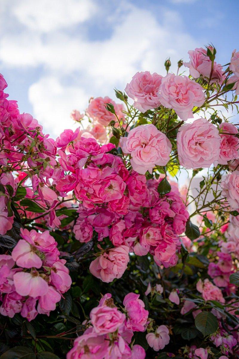 #薔薇 #ポートレート #ファインダー越しの私の世界  under the roses  -1 pic.twitter.com/olKXdAxczM