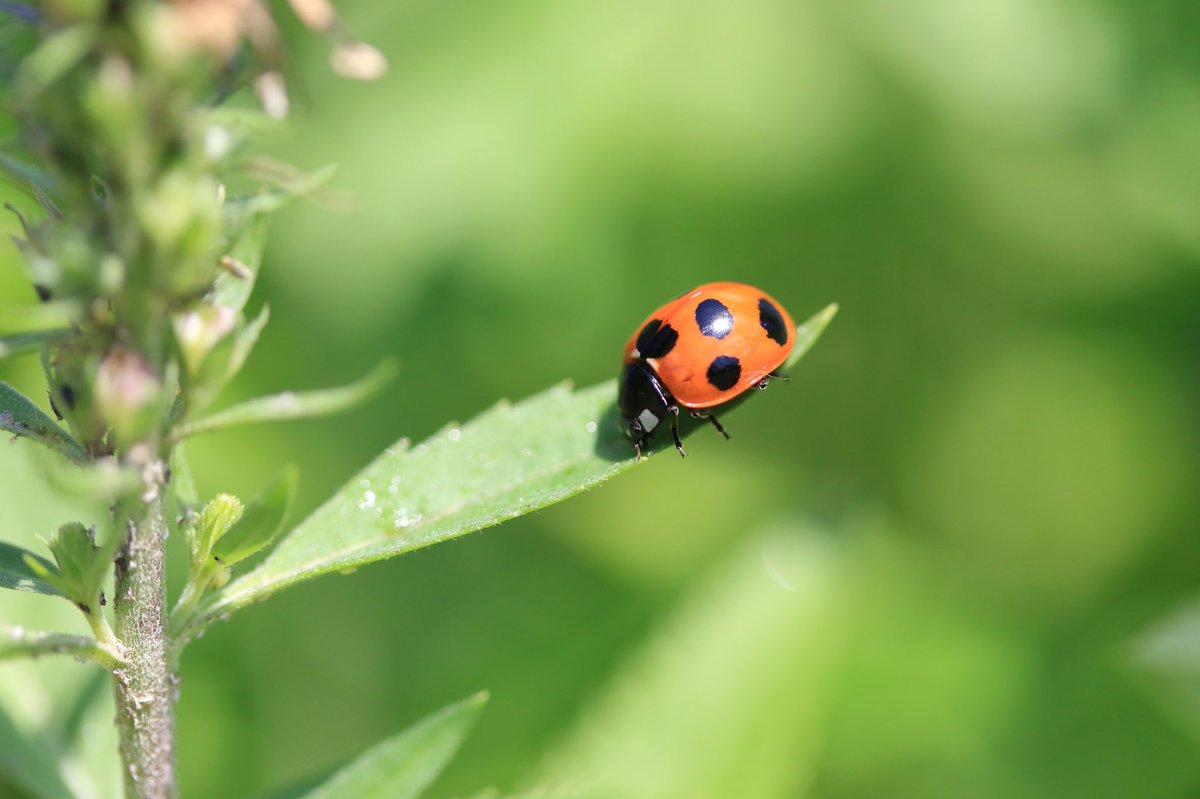 てんとう虫  よく見ると怖い顔してますね笑  #自然 #虫 #写真好きな人と繋がりたい  #写真で伝えたい私の世界  #カメラ好きな人と繋がりたい  #カメラ男子 #カメラ女子 #キリトリセカイ #ファインダー越しの私の世界ᅠpic.twitter.com/XufXfIk3nS