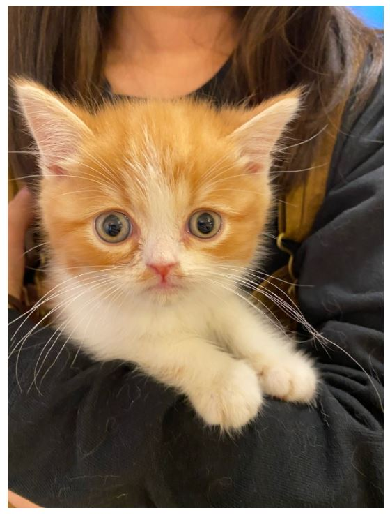 今後については検討中のようです木村花さんの飼い猫からあげくん、いまは「スターダム」寮に 代表明かす「カゴに入れ事務所のドア外に」「子猫は花の形見のよう」