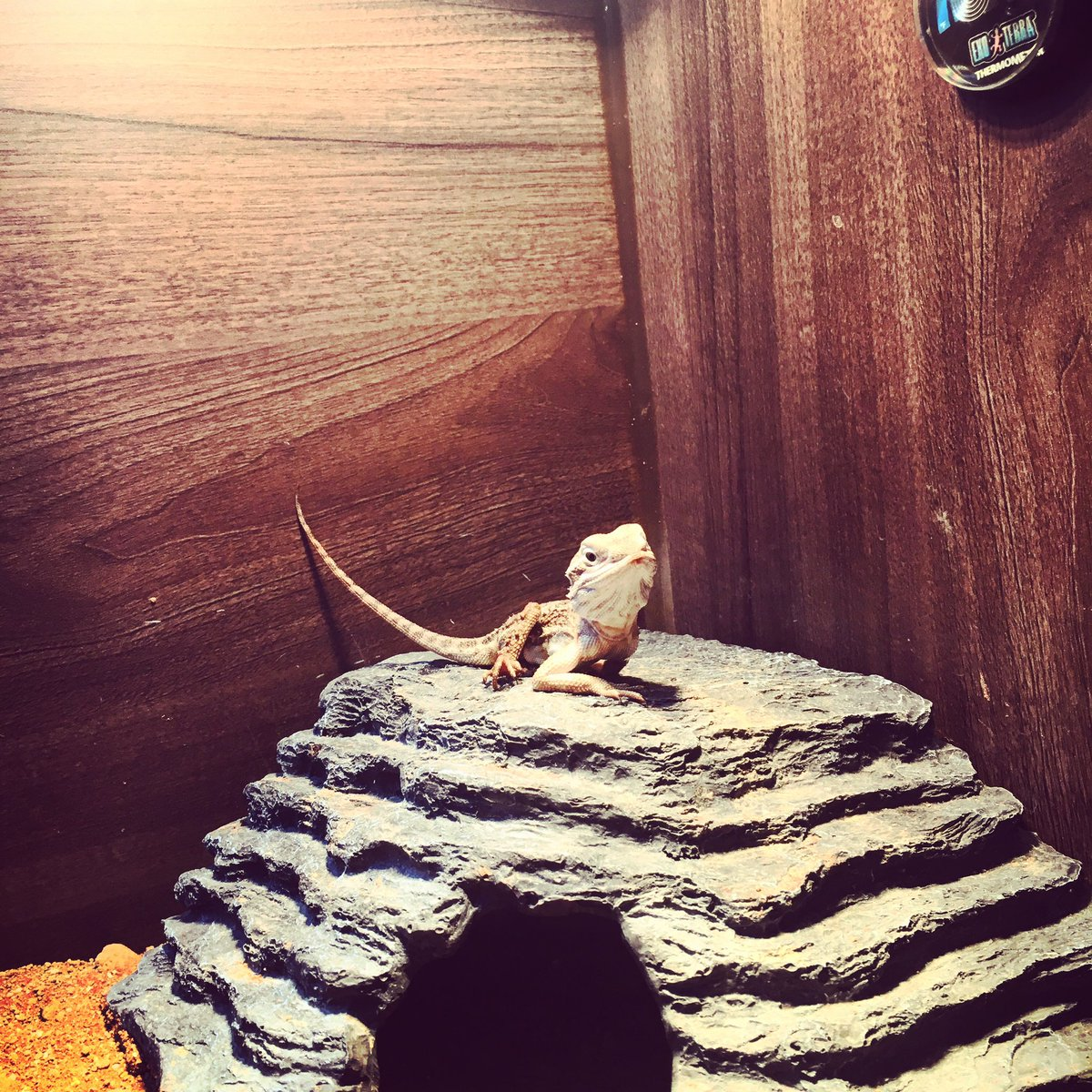 #lizard #pet #cute love my little Marcuspic.twitter.com/pb9GBEg24o