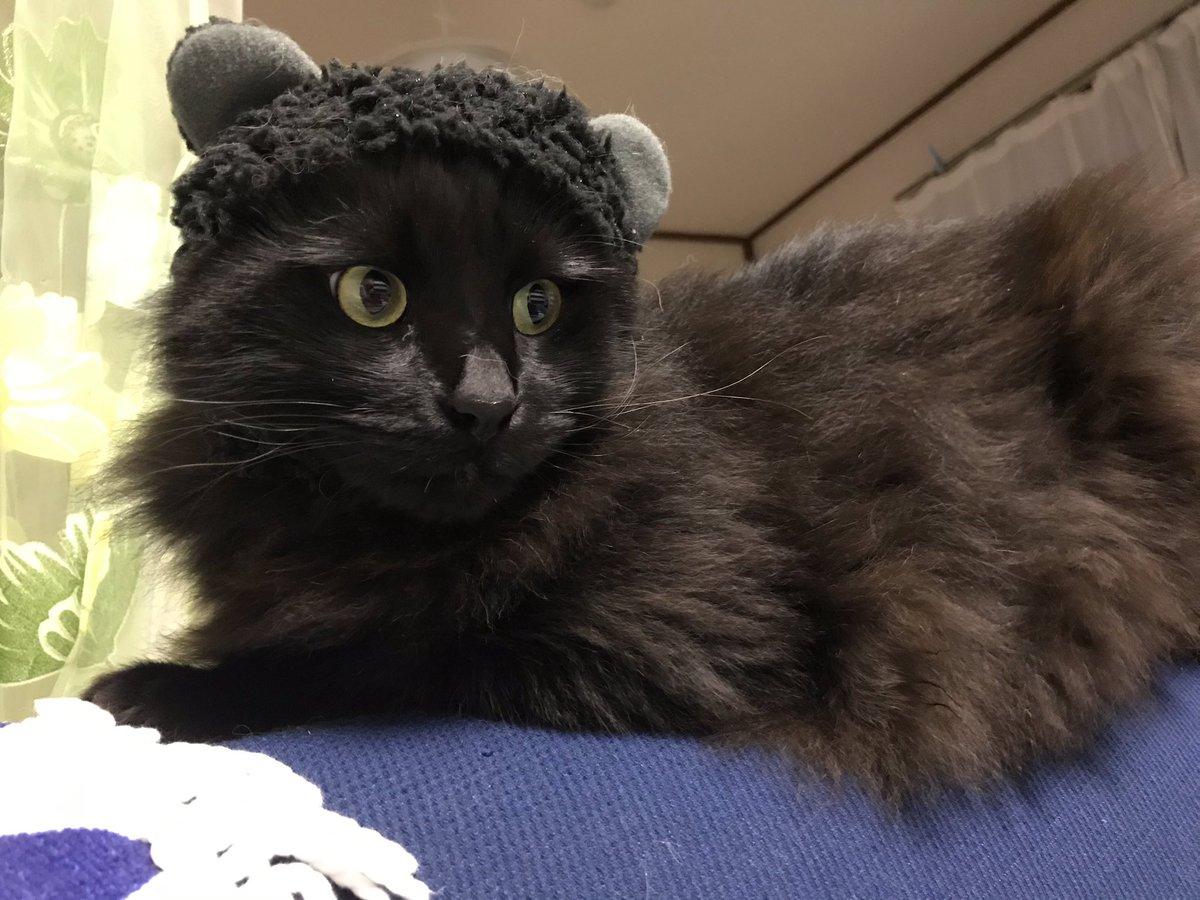 熊に変身!! #blackcat #黒猫 #猫好きさんと繋がりたい #persiancat  #ペルシャ猫 #チンチラシルバー #猫好きさんと繋がりたい #もふもふチャレンジpic.twitter.com/TWa8cLpUVt