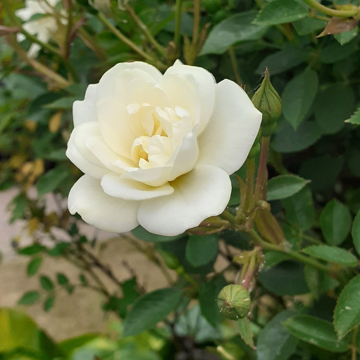 Thought I would pop this pretty cream coloured rose here for bank holiday Monday  #staysafe #Flowers #BankHolidayMondaypic.twitter.com/K3dAHLdJtW