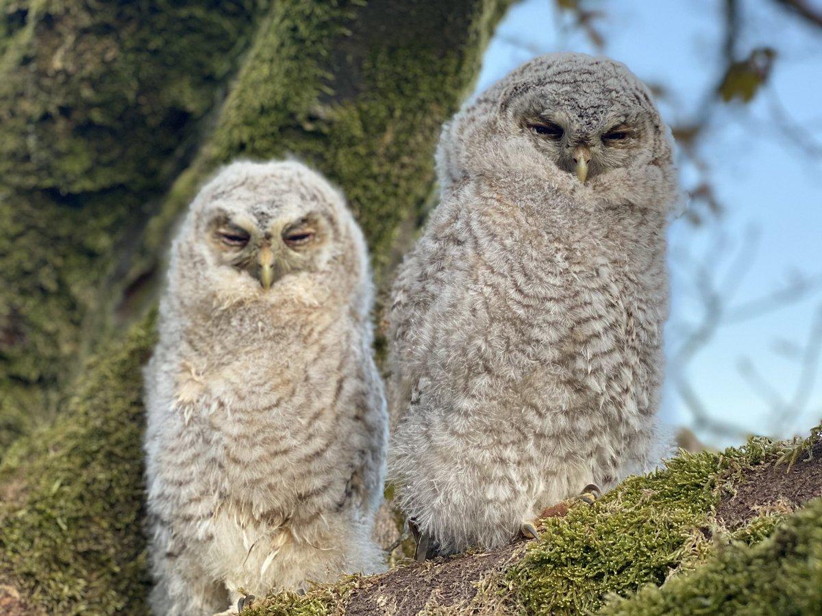 Twit two.......not a typo.     #owl #nature #countryside #outdoors #yorkshire #farming #shepherdess #photographypic.twitter.com/P8quQjoN1B