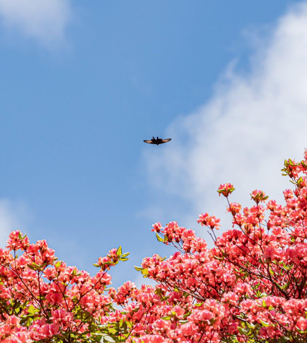 アゲハ蝶とオンツツジ 動きが素早いのでこの一枚しかなかった  #Nikon #D850 #徳島県 #船窪つつじ公園  #花 #オンツツジ #徳島カメラ部 #ファインダー越しの私の世界  #Flower #アゲハ蝶 #写真撮ってる人と繋がりたい #写真好きな人と繋がりたい   #カメラ男子 #Japanpic.twitter.com/60PdquD9fG